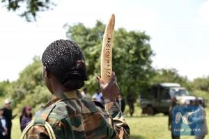 """Kenya Wildlife Service ranger demonstrates ivory """"seized"""" in anti-smuggling practice, Dec.13, 2015, Nairobi, Kenya (Xinhua/Sun Ruibo)"""