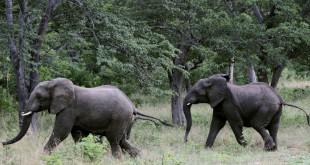 elephant trade