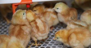 """中国养殖设备巨头——青岛""""大牧人""""机械股份有限公司首套商品蛋鸡饲养设备登录南非市场。据了解,这是中国首套最大、最高自动化蛋鸡育雏饲养设备登录南非市场。这也是""""大牧人""""产品第二次登陆南非。"""